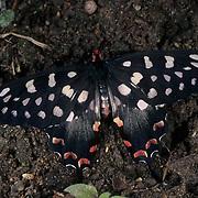 Atrophaneura Antenor Butterfly in Madagascar.
