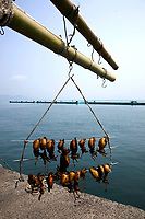 """Tomonoura Port Squid - The Inland Sea separats Honshu, Shikoku, and Kyushu, the three main islands of Japan.  Almost all the smaller villages in and around the Inland Sea or """"Seto Naikai"""" as it is called are devoted to fishing."""