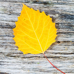 A big tooth aspen leaf near Greenough Pond in Wentworths Location, New Hampshire. Fall. Northern Forest.