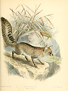 "Hoary Fox (Canis canus) From the Book Dogs, Jackals, Wolves and Foxes A Monograph of The Canidae [from Latin, canis, ""dog"") is a biological family of dog-like carnivorans. A member of this family is called a canid] By George Mivart, F.R.S. with woodcuts and 45 coloured plates drawn from nature by J. G. Keulemans and Hand-Coloured. Published by R. H. Porter, London, 1890"
