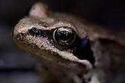 Common frog juvenile (Rana temporaria). Chobham Common, Surrey, UK.
