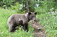 European Brown Bear - Ursus arctos arctos