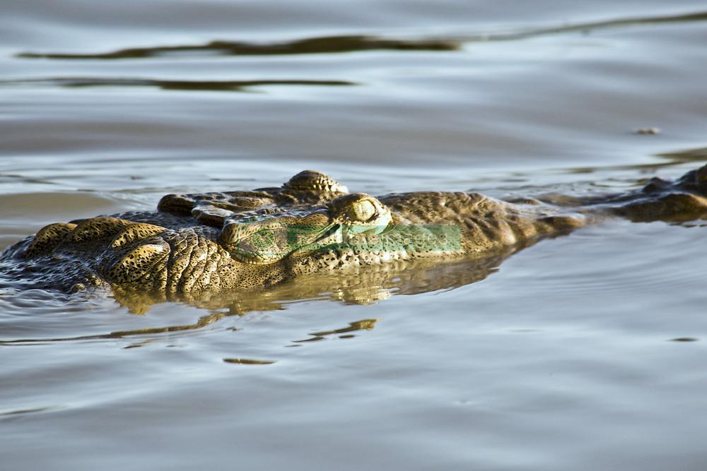 July 21, 2019 - Crocodile In Water (Credit Image: © Caley Tse/Design Pics via ZUMA Wire)