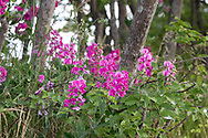 Marsh Peavine (Lathyrus palustris) flowers at Blackie Spit near Crescent Beach in Surrey, British Columbia, Canada.