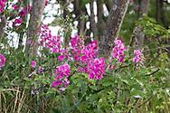 Marsh Peavine (Lathyrus palustris) flowers at Blackie Spit near Crescent Beach in Surrey, British Columbia, Canada.