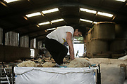 Sheep shearing season on 18th of June 2020, in Stow in the Scottish Borders, Scotland, United Kingdom. Freshly sheared wool is packed down in large bags. Stewart Runciman has got 800 sheep and sheep shearing season is on. He keeps his sheep and lambs in the fields above Stow in the Scottish Borders but takes them inside at Muir House farm to have their wool cut. Wool and fleece was never a good business but with COVID-19 the price on wool has dropped and Stewart now loses up to 80p / sheep  but the shearing has to be done for animal welfare reasons.