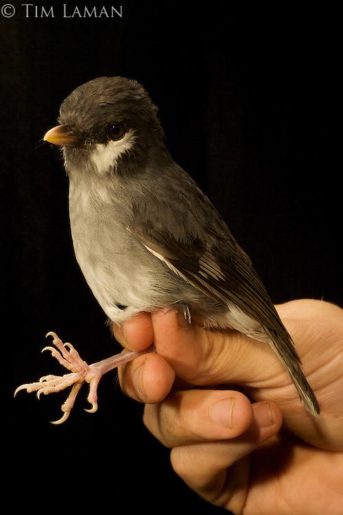 Ashy Robin (Poecilodryas albispecularis).<br />Captured in the Foja Mts near Bog Camp 1650 m