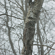 Great gray owl perched in a tree, hunting. The pattern in its feathers makes excellent camouflage. Sax-Zim Bog area, Minnesota