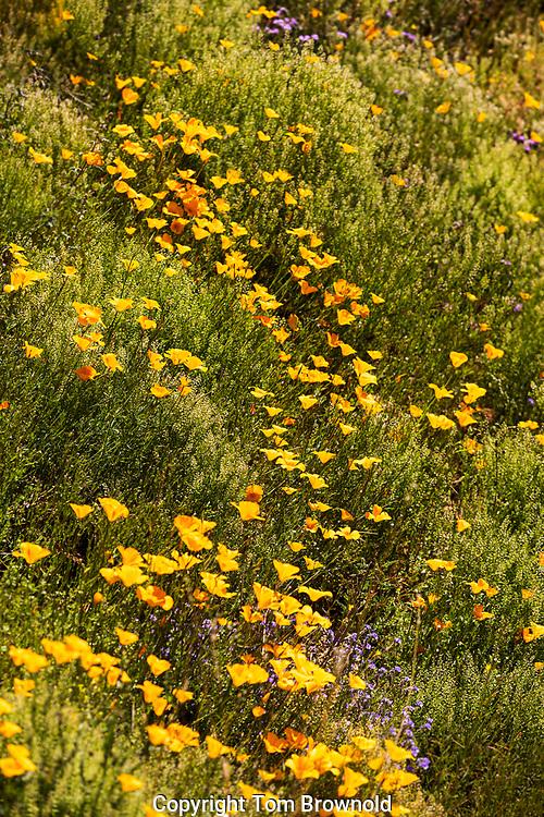 Spring Poppies blooming in Arizona's Sonora desert