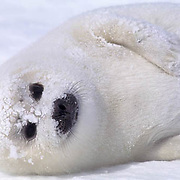 Harp Seal, (Pagophilus groenlandicus) Pup rests on ice pack, face coated with ice crystals. Nova Scotia. Canada. Spring.