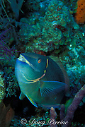stoplight parrotfish, Sparisoma viride, supermale<br /> stands head-up while being cleaned by gobies ( Gobisoma sp.)<br /> Bahamas ( Atlantic )