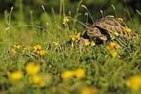 Hermann´s Tortoise (Testudo hermanni). Shebeniku-Jabllanica National Park, Albania June 2009
