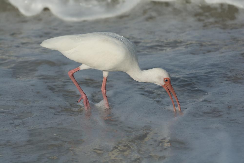 White Ibis fishing in the ocean