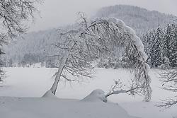 THEMENBILD - umgeknickte Bäume durch die hohe Schneelast, aufgenommen am 10. Jänner 2019, Kitzbuehel, Oesterreich // bent trees due to the high snow load at Kitzbuehel, Austria on 2019/01/10. EXPA Pictures © 2019, PhotoCredit: EXPA/ Stefan Adelsberger