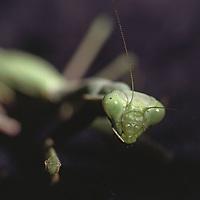 Close view of a praying mantis.