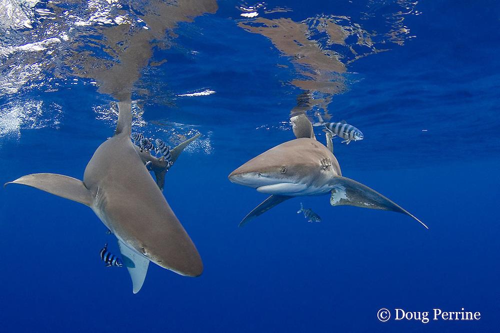 oceanic whitetip sharks, Carcharhinus longimanus, with pilot fish, Naucrates ductor, Kona Coast, Hawaii Island ( the Big Island ) Hawaiian Islands, USA ( Central Pacific Ocean )