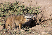 Bat-eared fox at den in Tanzania, Africa