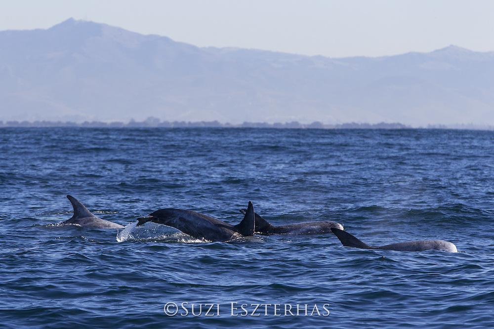 Risso's dolphin<br /> Grampus griseus<br /> Monterey Bay, California