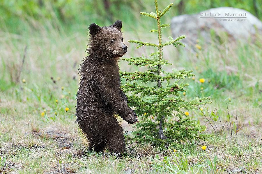 Grizzly bear cubs, Banff National Park