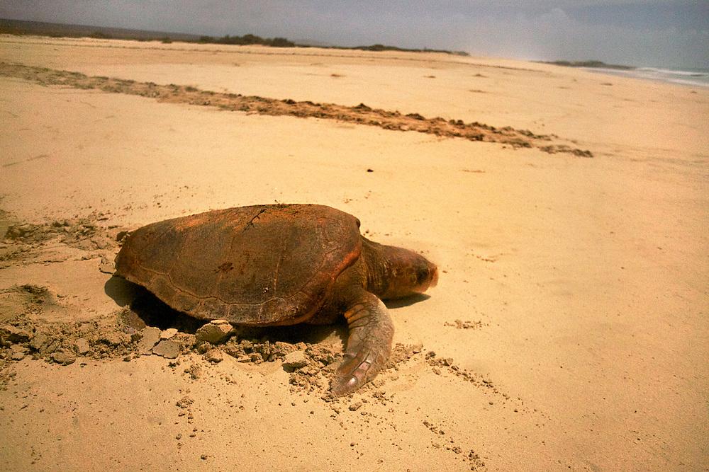 10/Septiembre/2014 Cabo Verde. Boa Vista.<br /> Una hembra de tortuga Carettha carettha en su camino de retorno al mar después de desovar en la playa.<br /> <br /> © JOAN COSTA