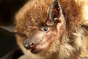 A big brown bat (Eptesicus fuscus), Central Washington desert.
