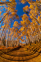 An aspen grove, Last Dollar Road, between Telluride and Ridgway, San Juan Mountains, southwest Colorado USA.