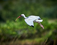 White Ibis in Flight. Biolab Road, Merritt Island National Wildlife Refuge. Image taken with a Nikon D4 camera and 500 mm f/4 VR lens (ISO 360, 500 mm, f/5.6, 1/4000 sec).
