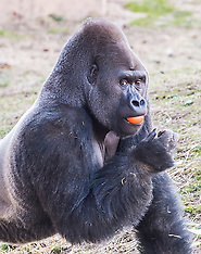 Louis the Gorilla walks upright - 19 March 2018