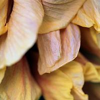 USA, California, San Diego. Yellow Hibiscus flower petals.