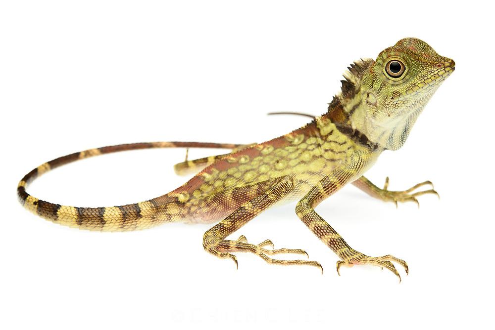 Borneo Anglehead Lizard (Gonocephalus bornensis). Sarawak, Malaysia (Borneo).