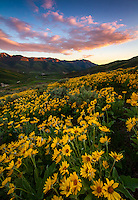 A blanket of yellow balsamroot, aka mule ear, wildflowers cover the hillside at sunset in East Canyon of the Wasatch Mountains near Salt Lake City, Utah.