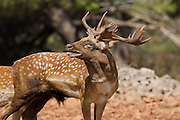 Male Mesopotamian Fallow deer (Dama mesopotamica) flaming. Photographed in Israel Carmel forest in August