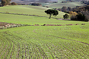 green starting to sprout in agricultural field France Languedoc Rases