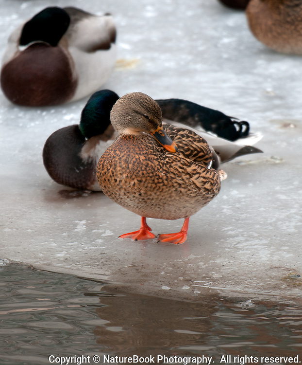 A mallard hen tends to her feathers on a cold November morning at a pond near the National Elk Refuge at Grand Teton National Park