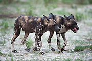 Wild dogs walking
