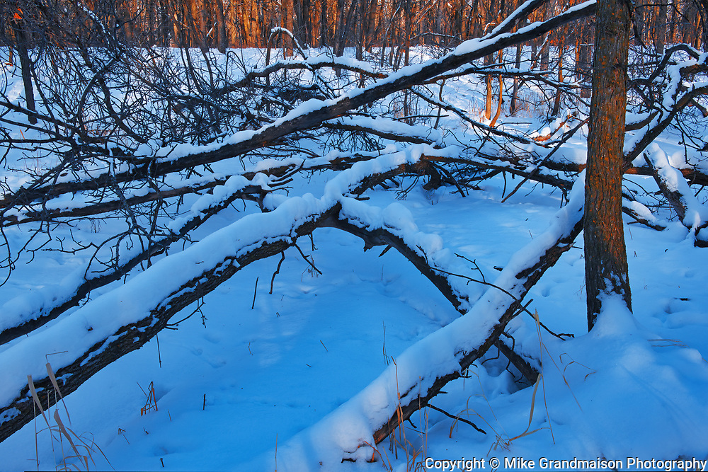 Fallen trees in the Seine River Forest at sunset<br />Winnipeg<br />Manitoba<br />Canada