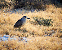 Black-crowned Night-Heron (Nycticorax nycticorax). Alamosa National Wildlife Refuge, Colorado. Image taken with a Nikon D300  camera and 80-400 mm VR lens