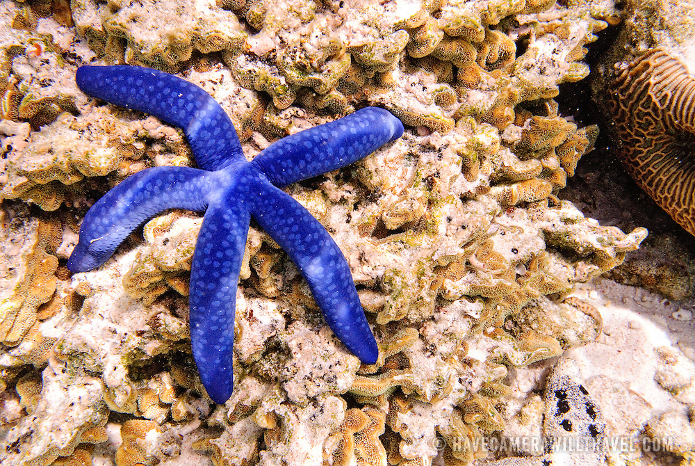 Underwater shot of blue starfish and coral reef at Lady Elliot Island on Queensland's coral reef.