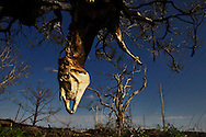 A decaying horse caught in a tree six months after hurricane Katrina. .Plaquemines Parish took the most heavy damage from hurricane Katrina. Located south of New Orleans, Plaquemines Parish had a large Shrimping fisherman community which was completely destroyed by Katrina. It is just starting to rebound six months after Katrina.