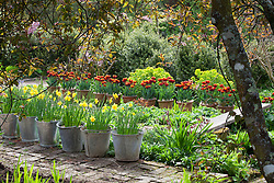 Narcissus jonquilla 'Flore Pleno' in galvanised buckets and Tulipa 'Abu Hassan' in terracotta pots lining the brick paths  at Glebe Cottage in spring
