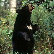 Black Bear, (Ursus americanus) Feeding on beaked hazelnuts. Summer. Northern Minnesota.
