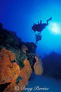 diver and orange elephant ear sponge, <br /> Agelas clathrodes, Turks & Caicos Islands,<br /> ( Western Atlantic Ocean )  MR 156