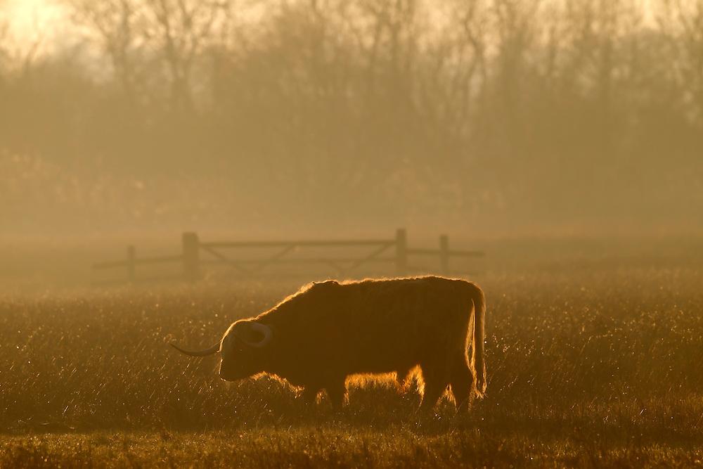 Backlit Highland Cattle grazing in meadow of Strumpshaw Fen RSPB Reserve, winter, Norfolk, UK