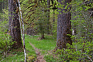 A large Douglas Fir tree trunk frames and opening in the temperate coniferous forest with Harps Shelter along the South Fork of the Skokomish River in the Olympic National Forest, Washington, USA