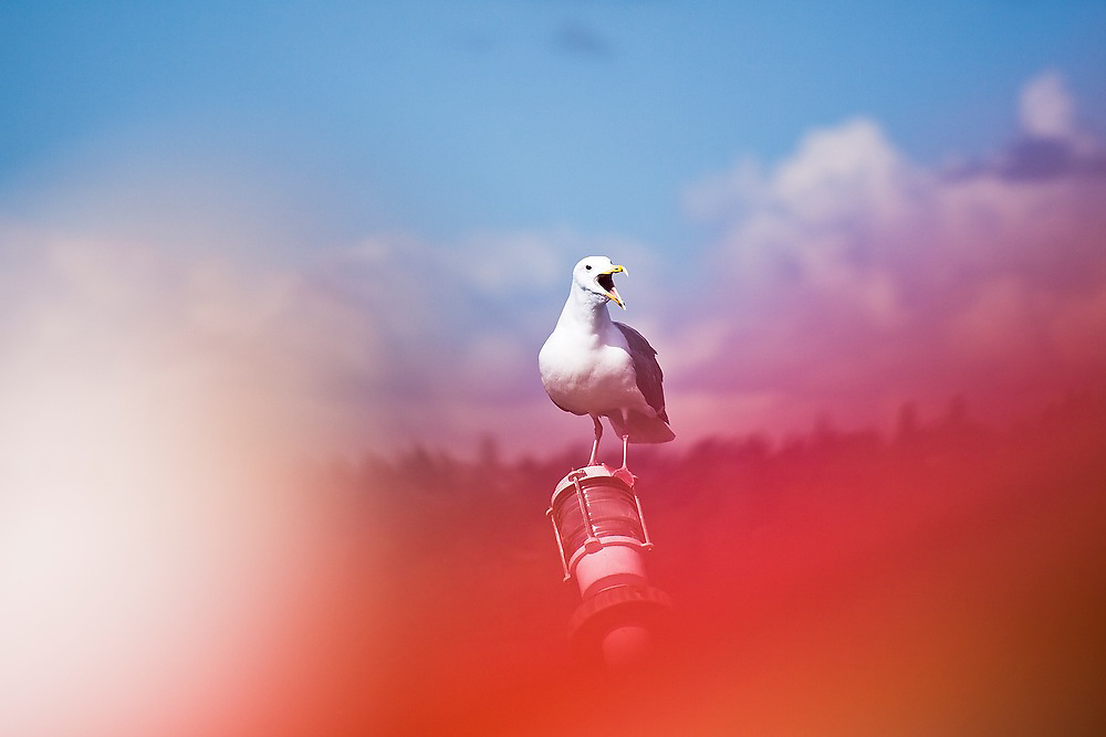 An angry seagull at a marina in Seattle, Washington.