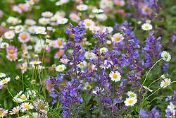Erigeron karvinskianus with Nepeta × faassenii 'Kit Cat'. Mexican daisies