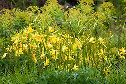 Hemerocallis lilioasphodelus AGM. Yellow day lily