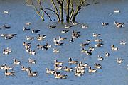 Nederland, Ubbergen, 20-12-2019 Wilde ganzen in het water in de Ooijpolder. Elk jaar overwinteren tienduizenden ganzen in de Gelderse Poort en de uiterwaarden langs de rivier de Waal. Zij voeden zich met gras, vaak tot ergernis van boeren, veehouders die hun vee in de lente en zomer buiten willen laten grazen. Ook zijn de vogels verspreiders van het vogelgriepvirus.Foto: Flip Franssen