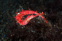 Winged Pipefish nestled on a bed of red algae<br /> <br /> Shot in Indonesia