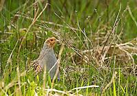 Grey partridge (Perdix perdix), Matsalu Bay Nature Reserve, Estonia